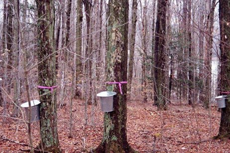 Collecting Maple Sap: Buckets or Tubing Systems