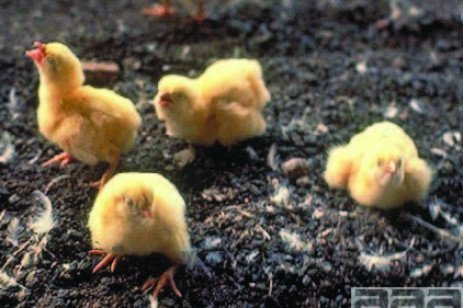 Respiratory Diseases of Small Poultry Flocks