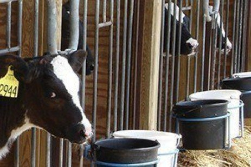 Feeding Acidified Milk to Calves