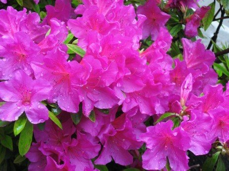 Azalea and Rhododendron Diseases