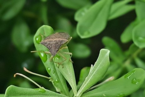 Brown Marmorated Stink Bug as a Pest of Corn and Soybeans