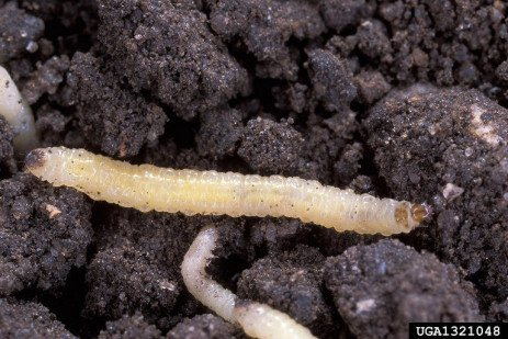 Managing Western Corn Rootworm Resistance to Bt on the Fringe