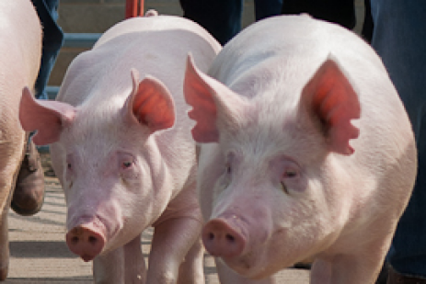 Raising Small Groups of Pigs