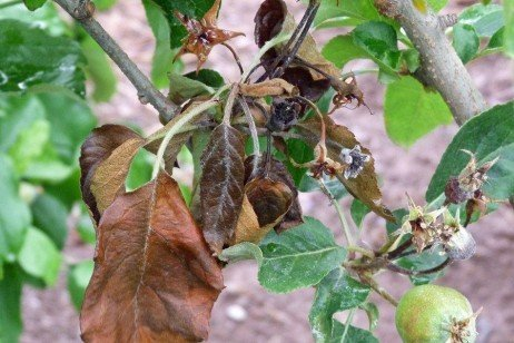 Apple Disease - Fire Blight