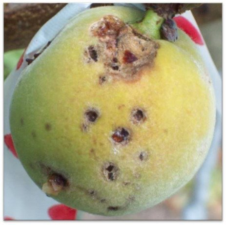 Stone Fruit Disease - Bacterial Spot, Refining Disease Management