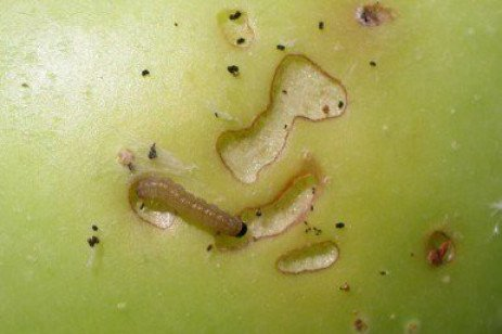 Tree Fruit Insect Pests - Late Summer Management