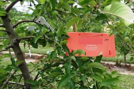 Tree Fruit Insect Pests - Spring Monitoring and Management