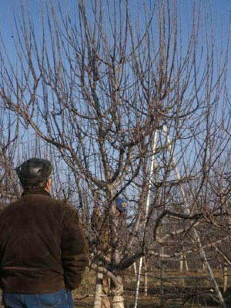 Home Orchards: Why is There No Fruit on My Tree?