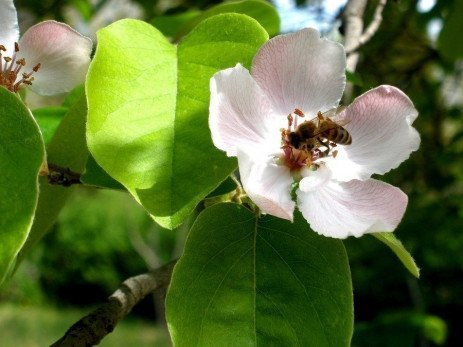 Pollination Requirements for Various Home Garden Fruits