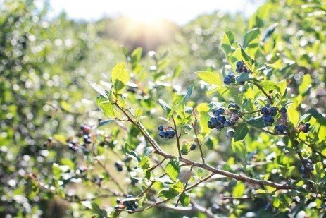 The Blueberry Plant in the Home Fruit Planting