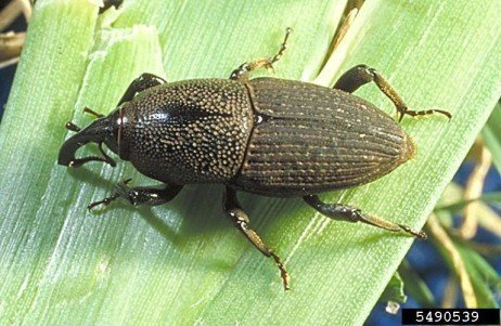 Billbugs as Pests of Field Corn