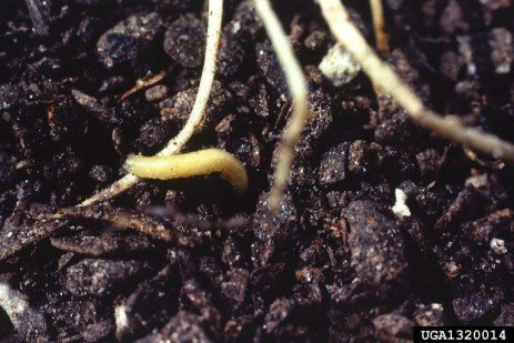 Western and Northern Corn Rootworm Management in Pennsylvania