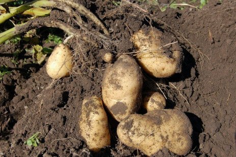 Potato Cultivars Suggested for Pennsylvania and Resistance Characteristics