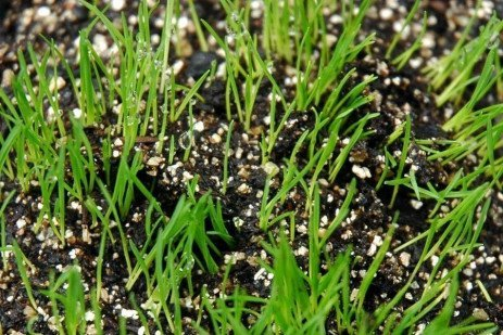 Suppression of Annual Bluegrass or Crabgrass