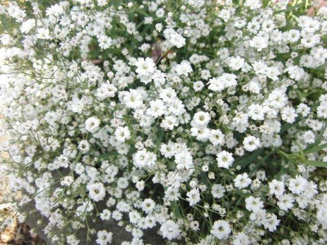 Gypsophila Diseases