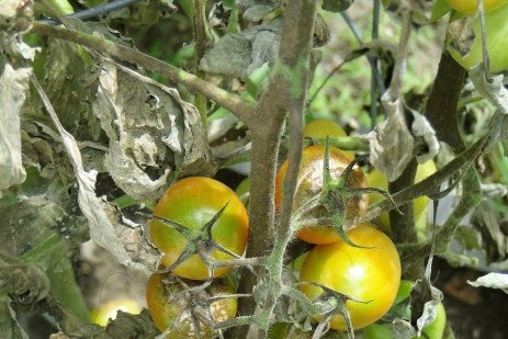 Tomato-Potato Late Blight in the Home Garden