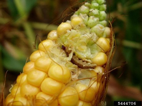 European Corn Borer in Field Corn