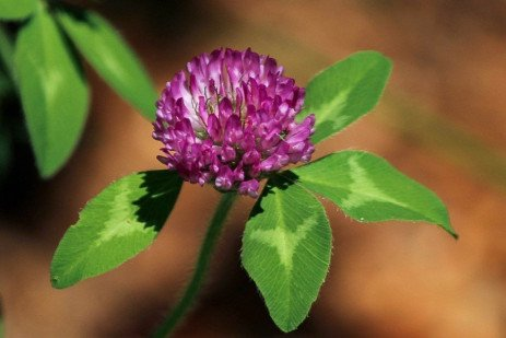 Management of Red Clover as a Cover Crop