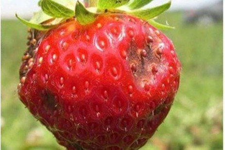 Strawberry Disease - Anthracnose