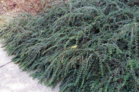 Ground Cover Alternative – Hesse Cotoneaster