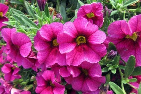 Calibrachoa Culture and Management
