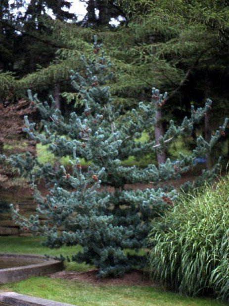 Japanese White Pine: Whimsical and Tough