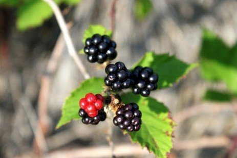 Home Fruit Gardens: Table 7.2. Summary of Bramble Disease Control Strategies