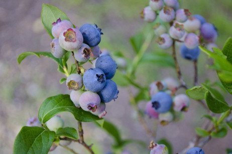 Home Fruit Gardens: Table 9.1. Insect Occurrence in Blueberries