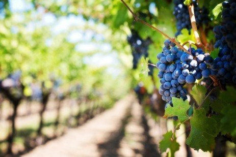 Home Fruit Gardens: Table 6.3. Wine Grape Varieties for Pennsylvania