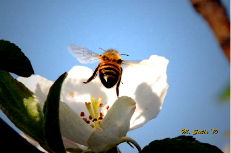 Orchard Pollination - Avoid Pesticide Sprays during Bloom