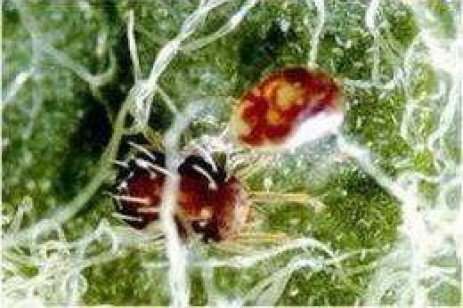 Orchard IPM - European Red Mite Biological Control