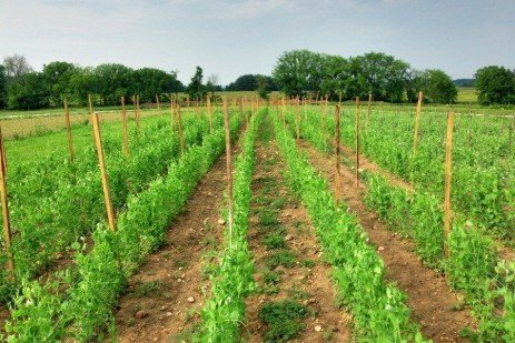 No-till, no Herbicide Planting of Spring Vegetables