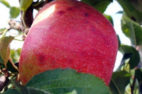 Apple Fruit Disorders - Crop Load and Nutrient Management to Prevent Bitter Pit