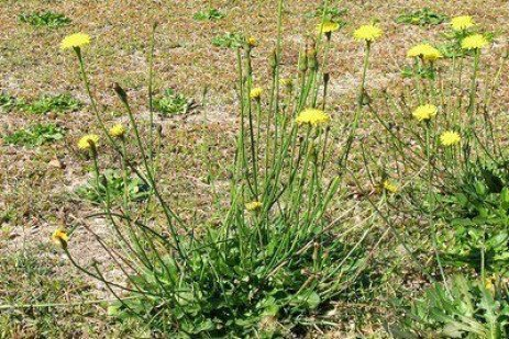 Noxious Weed - Catsear