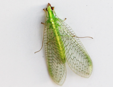 Promoting Beneficial Insects in the Landscape: Lacewings