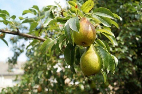 Pear Varieties in Home Fruit Plantings
