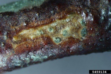 Phomopsis Canker and Twig Blight in Blueberries in Home Fruit Plantings