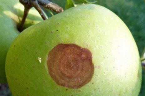 White Rot of Apple in Home Fruit Plantings