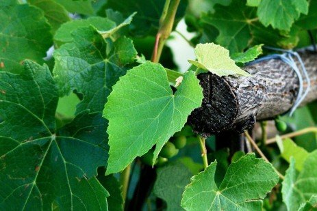 Nutritional Requirements of Grapes in Home Fruit Plantings