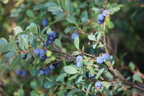 Blueberry Variety Selection in the Home Fruit Planting