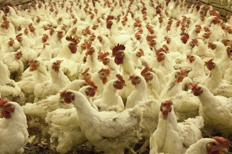 Poultry Cannibalism: Prevention and Treatment
