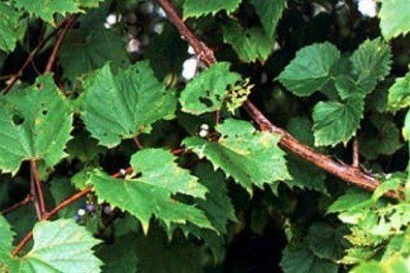 Invasive Weeds - Wild Grape