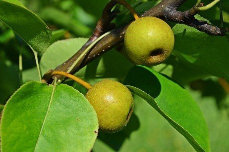 Asian Pears in the Home Orchard - Variety Selection