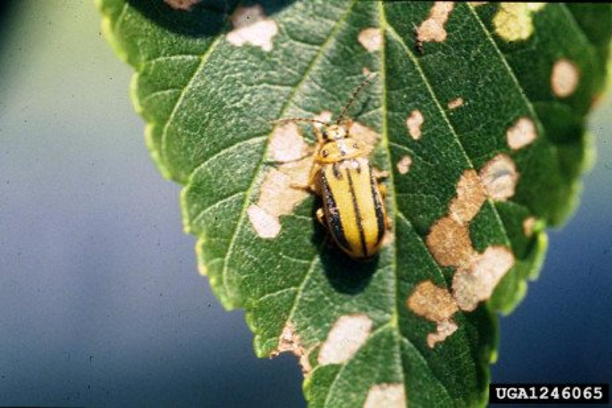 Escarabajo de la hoja del Olmo