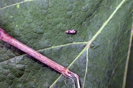 Grape Berry Moth – A Serious Pest of Table Grapes in Pennsylvania