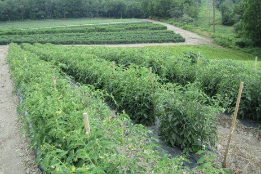 Tomato Support Methods