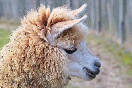 Urinary Blockage in Llamas and Alpacas