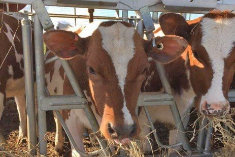 Monitoring Dairy Heifer Growth