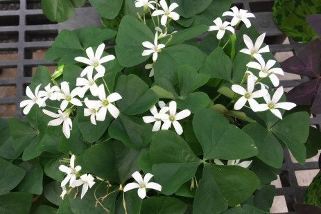Shamrocks as Houseplants