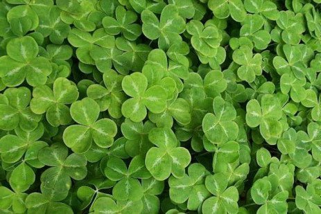 Shamrocks: Myths, Legends, Folklore, and Facts